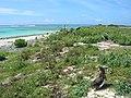 Starr-080605-9254-Sonchus oleraceus-habit-Eastern Island-Midway Atoll (24286387944).jpg