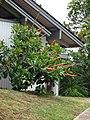 Starr-090421-6247-Norantea guianensis subsp guianensis-flowering habit-Pukalani-Maui (24584851779).jpg