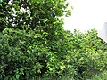Starr-090617-0889-Sandoricum koetjape-habit-Ulumalu Haiku-Maui (24964969525).jpg