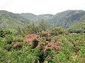 Starr-090720-3062-Antigonon leptopus-flowering habit-Waiehu-Maui (24943865856).jpg