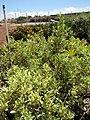 Starr-100623-7737-Ficus benjamina-variegated form in pots-Pukalani Plant Company Pulehu-Maui (24924178722).jpg
