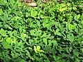 Starr-110215-1184-Arachis pintoi-habit-KiHana Nursery Kihei-Maui (24445130204).jpg