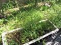 Starr-110215-1465-Asparagus officinalis-habit-Kihei-Maui (24780716340).jpg