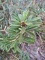 Starr-110609-6132-Banksia marginata-leaves-Shibuya Farm Kula-Maui (24978613272).jpg