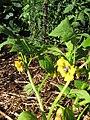 Starr-110822-8266-Physalis philadelphica-flowers and leaves-Hawea Pl Olinda-Maui (24985247292).jpg