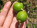 Starr-120406-9287-Citrus aurantifolia-fruit-Kawela-Molokai (24508557294).jpg
