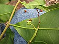 Starr-130319-3158-Cupaniopsis anacardioides-flowers and leaves-Kilauea Pt NWR-Kauai (24841076709).jpg