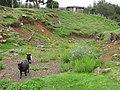 Starr-130809-2973-Argemone glauca x mexicana-perhaps with pygmy goats-Kula-Maui (25259899575).jpg