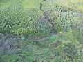Starr-141014-5113-Caesalpinia decapetala-aerial view-Kakipi Gulch Haiku-Maui (24951868020).jpg