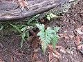 Starr-170225-7053-Asplenium adiantum nigrum-with A trichomanes-Lower Waiohuli Trail Polipoli-Maui (32539062264).jpg