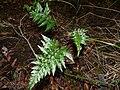 Starr-170304-0303-Asplenium adiantum nigrum-habit-Lower Waiohuli Trail Polipoli-Maui (33254857401).jpg