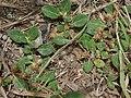 Starr-180421-0005-Alternanthera pungens-seeding habit-Honolua Lipoa Point-Maui (43458480241).jpg