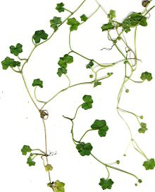 Starr 010424-9001 Hydrocotyle bowlesioides.jpg