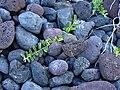 Starr 030716-0077 Jacquemontia ovalifolia subsp. sandwicensis.jpg