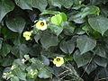 Starr 040518-0316 Hibiscus tiliaceus.jpg