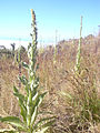 Starr 040723-0126 Verbascum thapsus.jpg