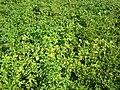 Starr 050222-4122 Physalis angulata.jpg