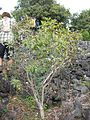 Starr 050423-6753 Myoporum sandwicense.jpg