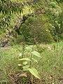 Starr 050816-3694 Lepechinia hastata.jpg