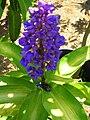 Starr 060905-8750 Dichorisandra thyrsiflora.jpg