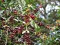 Starr 070617-7324 Coffea arabica.jpg