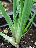 Starr 070906-8816 Allium schoenoprasum.jpg