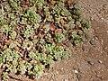 Starr 080415-4004 Polycarpon tetraphyllum.jpg