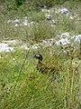 Starr 080605-6683 Cyperus polystachyos.jpg