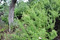 Stauracanthus boivinii 6.jpg