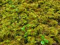 Step Moss (5038410258).jpg