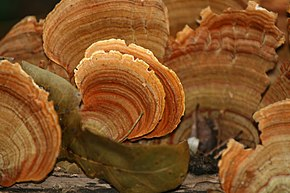 Description de l'image Stereum ostrea (False Turkey-tail Fungus).jpg.