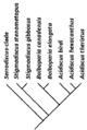 Stigmadiscus cladogram.png