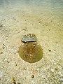 Stingray Holbox island Mexico Rochen (19991171308).jpg