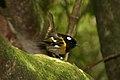 Stitchbird (5127011555).jpg