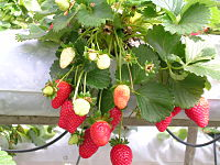 Garden strawberries grown hydroponically