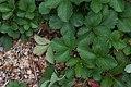 Strawberry Patch (4937002774).jpg