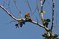 Streak-backed Oriole 2396407556.jpg