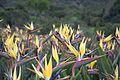 Strelitzia reginae - Mandela's gold.jpg