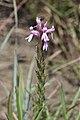 Striga bilabiata (Scrophulariaceae) (6801352192).jpg