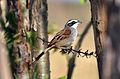 Stripe-headed Sparrow (6900631188).jpg
