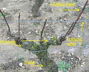 Vine training - Different components of a grapevine including cordons and fruiting canes.