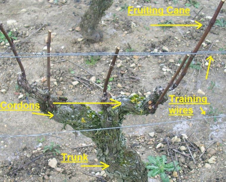 Structure of a grape vine