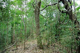 Tropical and subtropical dry broadleaf forests - Subtropical semi-evergreen seasonal forest in Doi Inthanon National Park, Northern Thailand, at the end of the dry season.