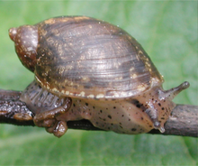 live snail on a twig