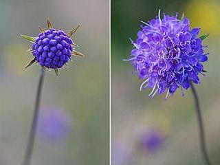 <i>Succisa pratensis</i> species of flowering plant in the honeysuckle family Caprifoliaceae