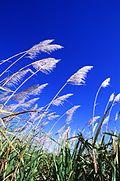 Sugarcane field.jpg