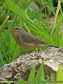Sulphur-bellied Warbler (Phylloscopus griseolus) (15877337656).jpg