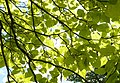 Sunlight through the leaves of a Catalpa bignonioides - geograph.org.uk - 1357850.jpg