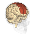 Superior frontal gyrus - lateral view2.png