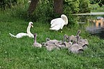 Swan pair with offspring.JPG
